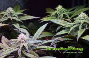 Grow-Tent-Medical-Marijuana-Garden-3-weeks-flower